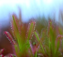 Fairy Like Sundew - JUSTART ©  by JUSTART