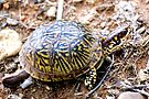 North American Box Turtle #2 by barnsis