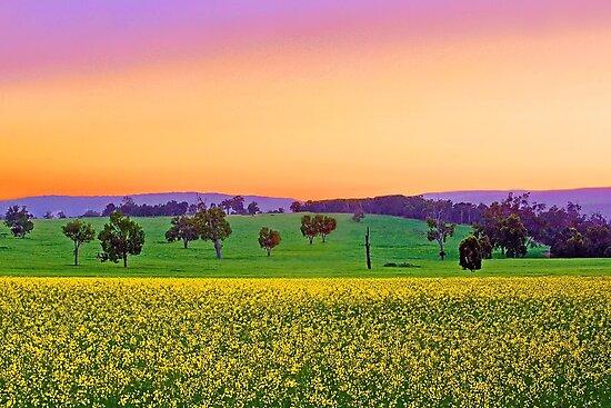 Canola Farm At Dawn by EOS20