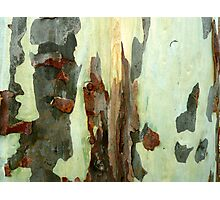 """""""Spotted gum"""" after the flood... Photographic Print"""