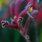 Anigozanthos by Garth Smith