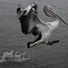 Pelican by James  Yu