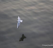 Caspian gull by magiceye