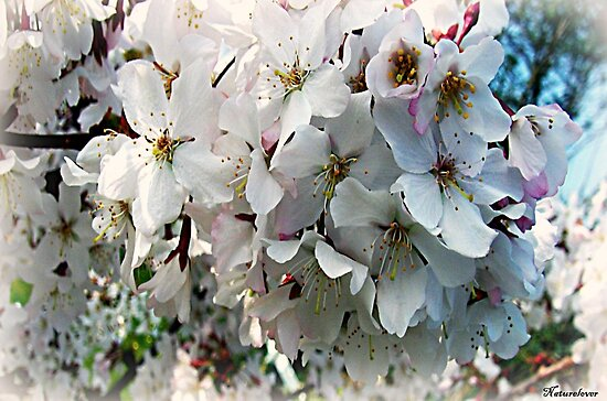 Blossoming by naturelover