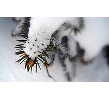 Prickly Snow Photographic Print