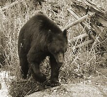 Black Bear by chrisolsenphoto
