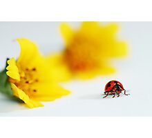 Ladybird on clean and clear background Photographic Print