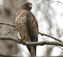 Broad-Winged Hawk  by Enola-Gay Wagner