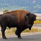 Wandering Yellowstone Bison by Alex Cassels