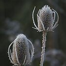 Frozen Thistles by davesphotographics