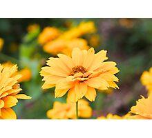 Yellow Coreopsis Photographic Print