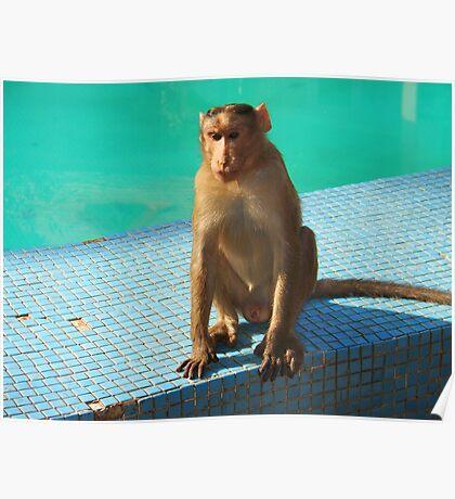 Monkey at pool  Poster