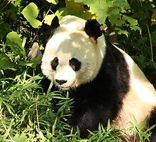 Panda in the Shade by Carol Bock