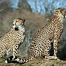 Waiting Cheetahs by mjds