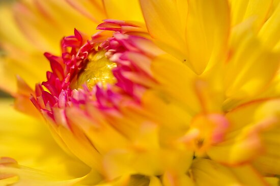 Yellow Dahlia by Kim McClain Gregal