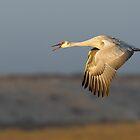 Sandhill Crane by kurtbowmanphoto