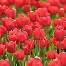 Red Illuminated Tulips by Emilie Trammell