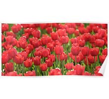Red Illuminated Tulips Poster