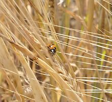 Ladybird on Wheat by Chris Monks