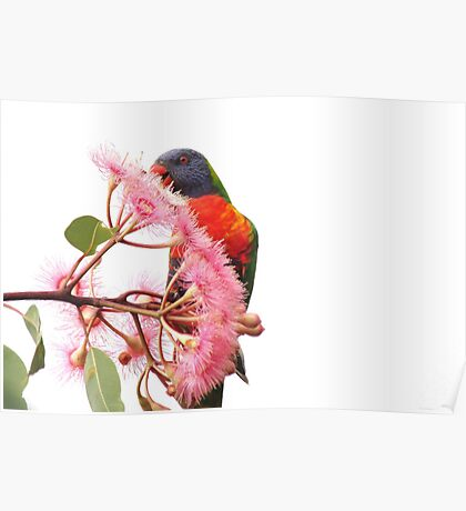 Rainbow Lorikeet-3349 (Trichoglossus haematodus) Poster
