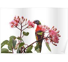 Rainbow Lorikeet-3365 (Trichoglossus haematodus) Poster