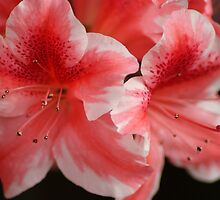 Candy Cane Azaleas by crystalseye