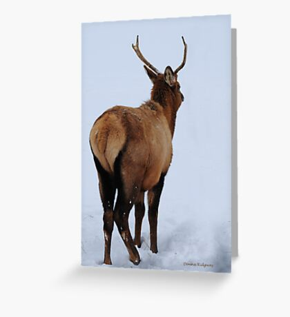 Spike elk in Montana snow. Greeting Card