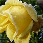 rose trimmed with frost by tego53
