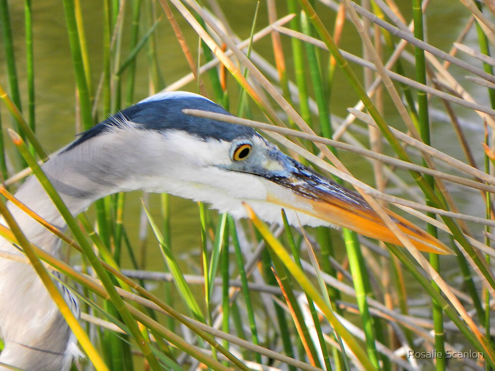 Great Heron Hunting by Rosalie Scanlon