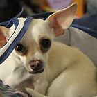 Chihuahua and the Laundry Safety Message by Corri Gryting Gutzman