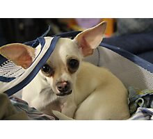 Chihuahua and the Laundry Safety Message Photographic Print