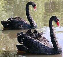 Black Swans Mirroring by Anthony Judd