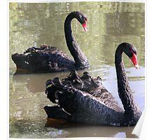 Black Swans Mirroring Poster