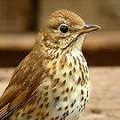 I'm As Beautiful As My Song Is..! - Song Thrush - NZ by AndreaEL