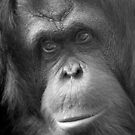 """Pensive Primate"" - orangutan portrait by John Hartung"