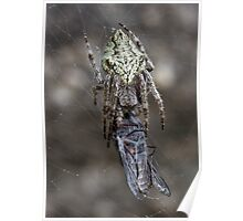 Spider With March Fly Poster