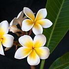 Cream Frangipani Gawler Gardens by Ginter