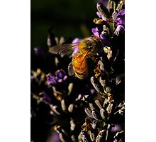 A Bee on a Lavender Photographic Print
