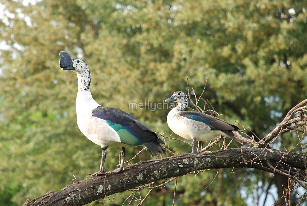 morning perch.  knob-billed duck. by mellychan