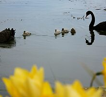 Family of Swans by simbachee