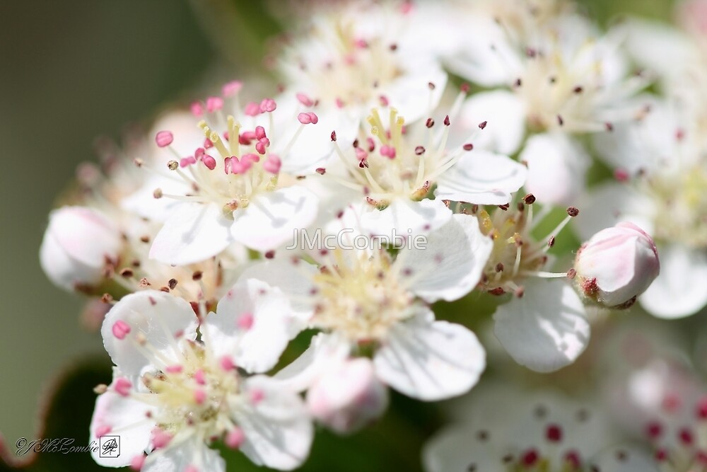 Aronia Blossoms by JMcCombie