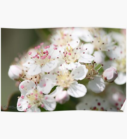 Aronia Blossoms Poster