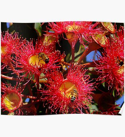 Australian Red Flowering Gum Poster