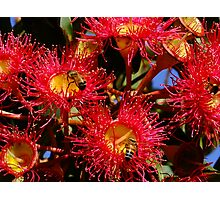 Australian Red Flowering Gum Photographic Print