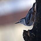 White-breasted Nuthatch by Kathy Weaver