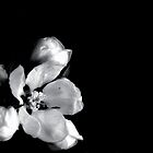 Apple Blossom B&W by Karen  Betts