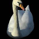 Swan by laurav