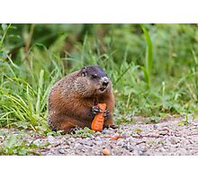 The Beaver feeding on a carrot Photographic Print