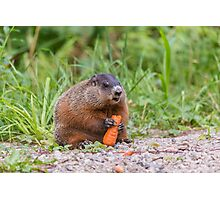 The Beaver and the carrot Photographic Print