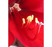 Amaryllis named Black Pearl Photographic Print